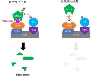 CUL4-CRBN-Thalidomide Model