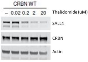 Sall4 degradation by thalidomide